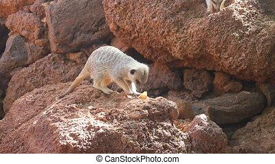 affamé, meerkat