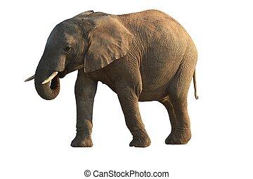 africaine, -, isolé, éléphant