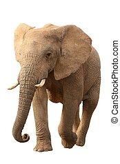africaine, isolé, éléphant