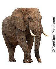 africaine, isolé, grand, éléphant, blanc mâle