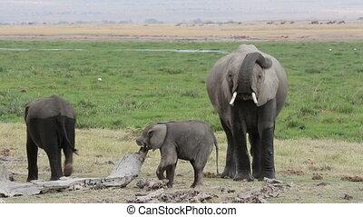 africaine, jeune, veaux, éléphant