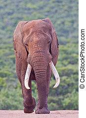 afrique., éléphant, parc, africana), africaine, addo, (loxodonta, sud