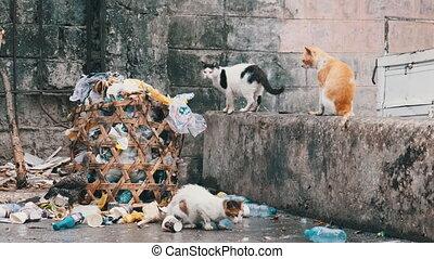 afrique, mesquin, manger, chats, sale, nourriture, pauvre, pourri, benne ordures, zanzibar, errant
