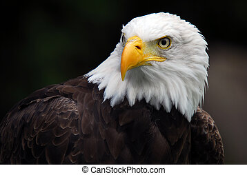 aigle, américain, chauve, (haliaeetus, leucocephalus)