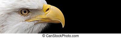 aigle, bannière, chauve