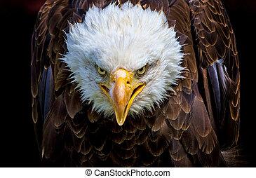 aigle, fâché, chauve, américain nord