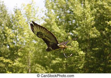aigle, voler, arrière-plan vert, arbres