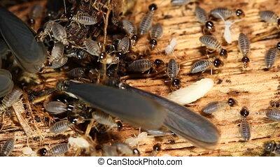 ailé, emerger, nid, termites