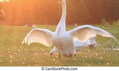 ailes, cygne, sien, rabats, coucher soleil