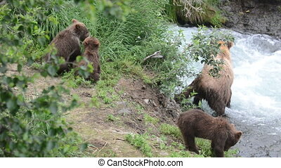 alaska, brun, petits, ours