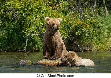 alaska, brun, truie, petit, ours