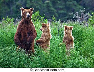 alaska, ours, grizly