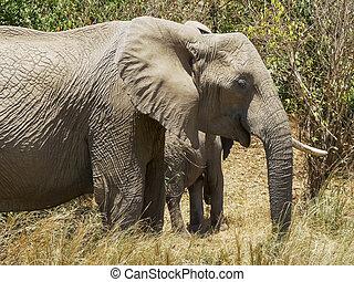 alimentation, éléphants, masai, troupeau, kenya, mara