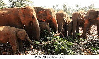 alimentation, éléphants