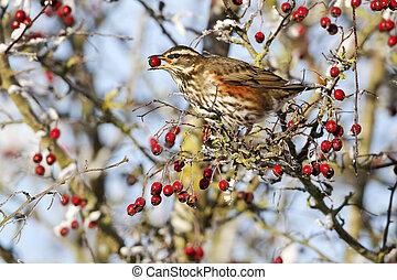 alimentation, iliacus, décembre, redwing, turdus, oiseau, baies, unique, aubépine, glacial, 2010, midlands