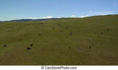 alors, aérien, courant, bétail, coup, pâturage