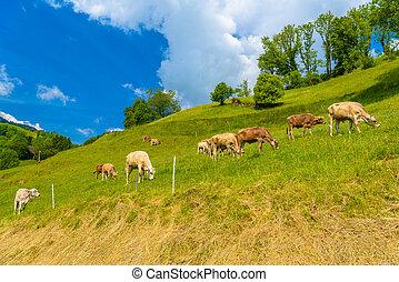alpes, brun, manger, rue., empare, village, vaches, werdenberg, herbe