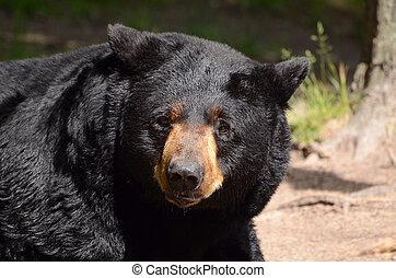 américain noir, americanus), ours, (ursus