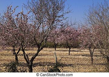 amande, bleu ciel, rose, arbres, fleur, sous