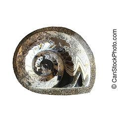 ammonite, fin, blanc, haut, isolé