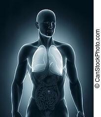 anatomie, antérieur, mâle, poumons, vue