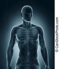 anatomie, antérieur, mâle, vue