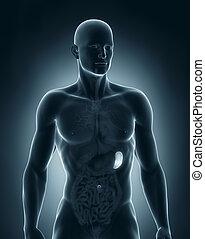 anatomie, antérieur, rate, mâle, vue