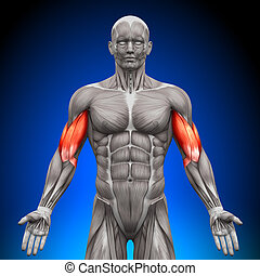 anatomie, biceps, muscles, -