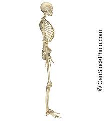 anatomie, côté, squelette, humain, vue
