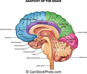 anatomie, cerveau humain