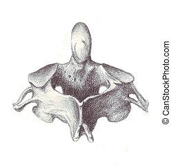 anatomie, cervical, -, vertèbre humaine