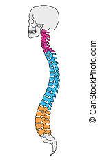 anatomie, colonne vertébrale
