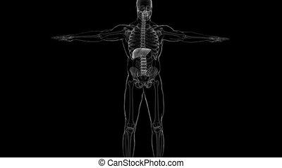 anatomie, concept médical, système digestif humain, 3d, foie