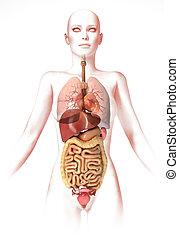 anatomie, corps femme, image, look., organs., stylisé, intérieur