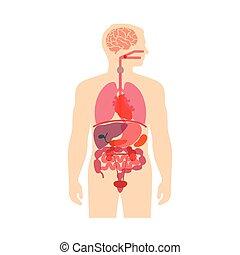 anatomie, corps humain