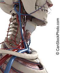 anatomie, cou, humain
