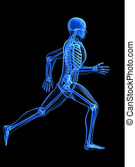 anatomie, courant, homme