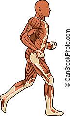anatomie, courant, vecteur, humain