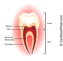 anatomie, dents