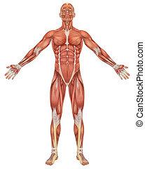 anatomie, devant, mâle, musculaire, vue