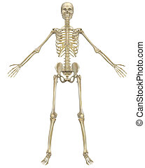anatomie, devant, squelette, humain, vue