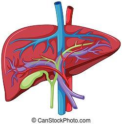 anatomie, diagramme, haut fin, foie