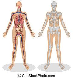 anatomie, femme, humain