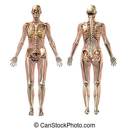 anatomie, femme, semi-transparent