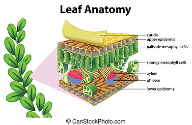 anatomie, feuille