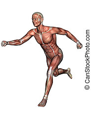 anatomie, figure masculine