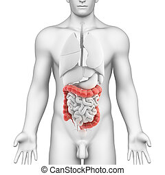 anatomie, grand intestin