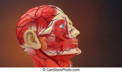 anatomie, -, humain, hd