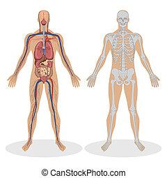 anatomie, humain, homme