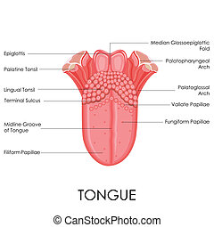 anatomie, langue, humain